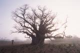 Baobabunokioku1